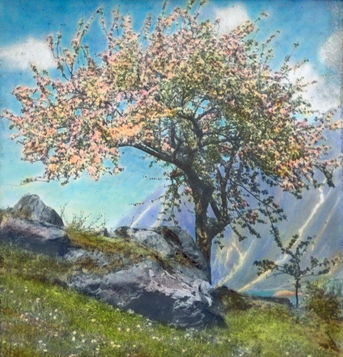 A fruit tree in bloom in Hardanger, Hordaland. | Photo: Anders Beer Wilse - digitaltmuseum.no DEX_W_00560 - CC BY.