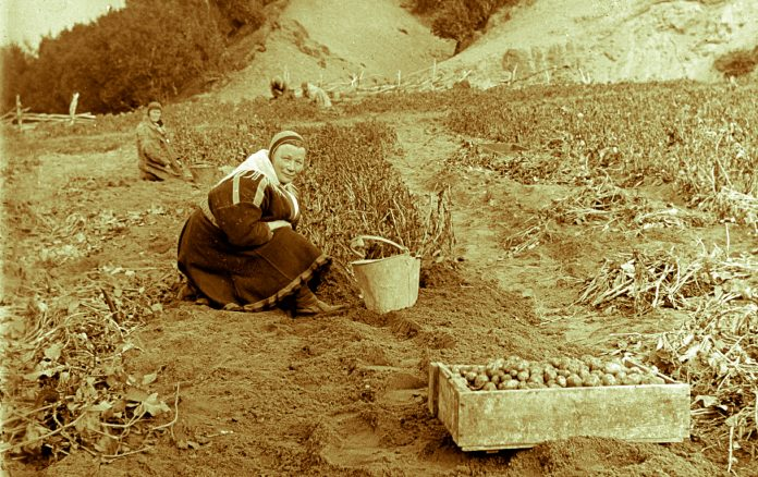 A group of Sami women harvesting potatoes. Finnmark, Norway. | Photo: Alf Schrøder co - digitaltmuseum.no FBib.01005-001 - Public domain.