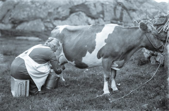 Milking the cow in 1935. The location is Skudeneshavn, Karmøy, Rogaland, Norway. | Photo: Esther Langberg - digitaltmuseum.no OB.Z17967 - cc by-sa.